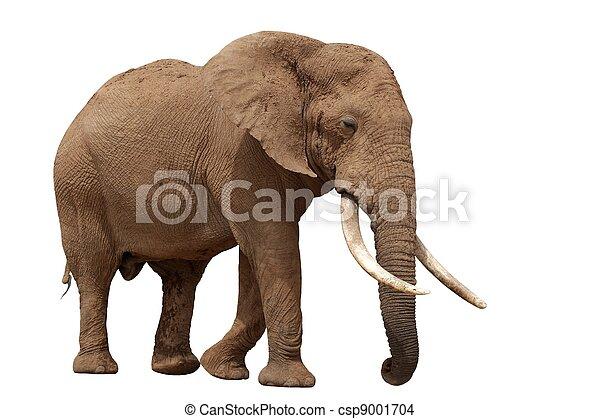 africaine, -, isolé, éléphant - csp9001704