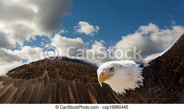 aigle, voler, chauve - csp16980445
