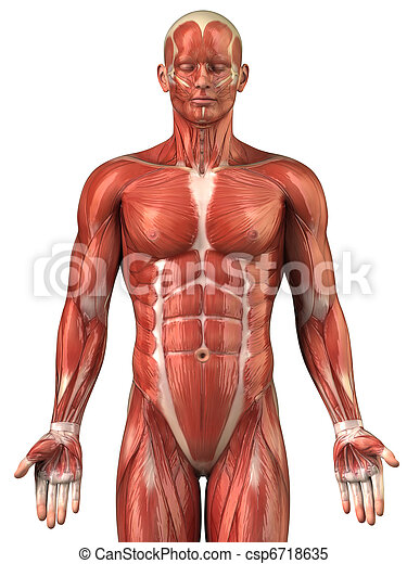 antérieur, système, musculaire, anatomie, homme, vue - csp6718635