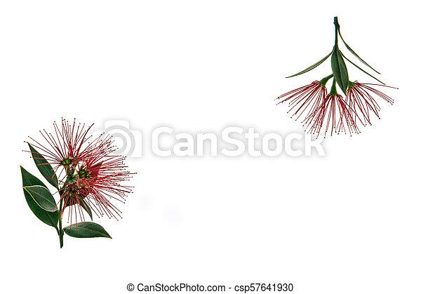 arbre, pohutukawa, fond, fleurs blanches, fleur, rouges - csp57641930