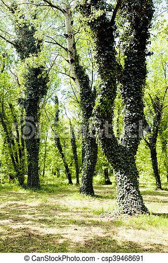 arbre vert, lierre, couvert - csp39468691