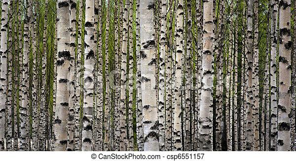 arbres, bouleau - csp6551157