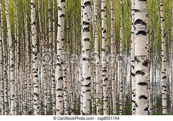 arbres, bouleau - csp6551154