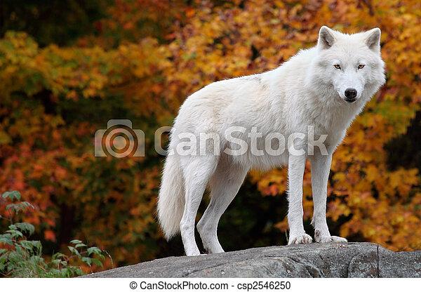 arctique, regarder, appareil photo, loup, diminuez jour - csp2546250