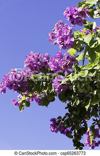 bleu, -, ciel, bougainvillea, croatie, fond, fleurs - csp65263773