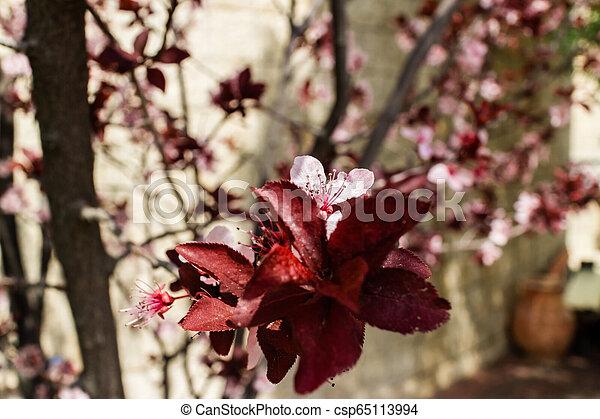 bleu, fleur rose, ciel, amandier, closeup, fleurs, fleur - csp65113994