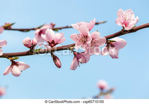 bleu fleurit, pêche, espace, ciel, arbre, contre, copie, fleur - csp60710100