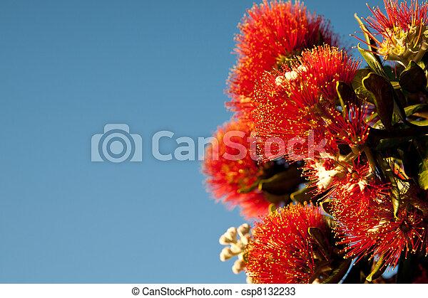 bloom., pohutukawa - csp8132233