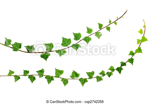 branches, deux, lierre - csp2742358