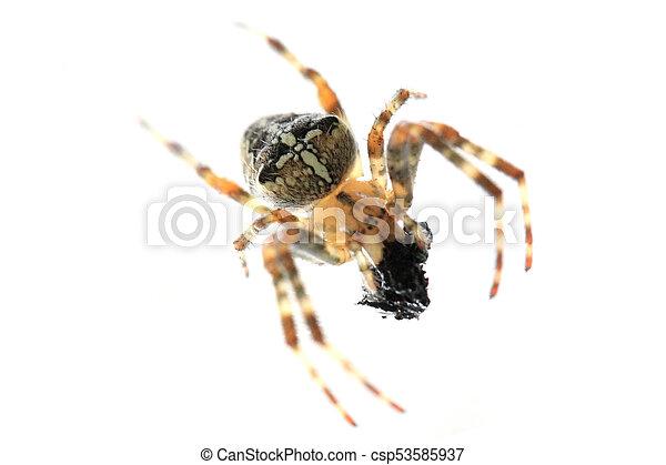 brun, araignés, isolé - csp53585937