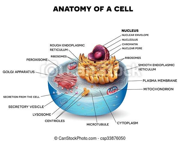 cellule, structure - csp33876050