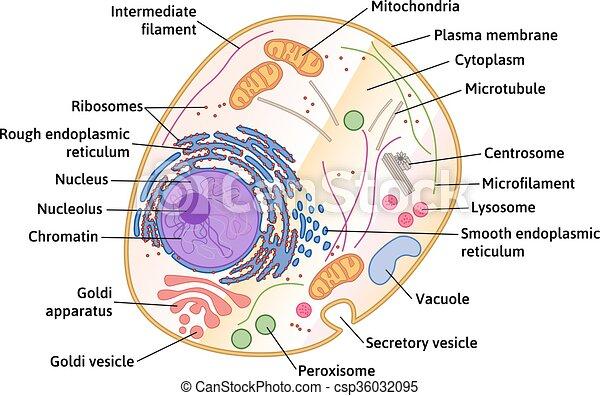 cellule, structure, vecteur, humain - csp36032095