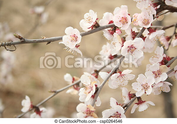 cerise, 3, fleurs - csp0264546
