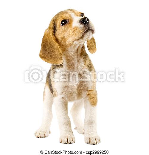 chiot, beagle - csp2999250
