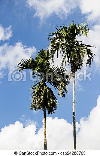 ciel bleu, arbre noix coco, fond - csp24288703