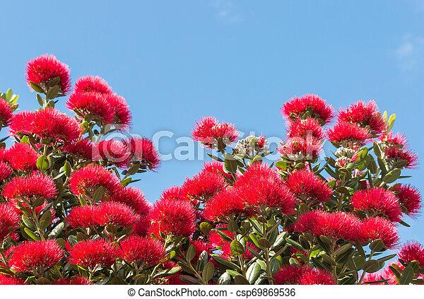 ciel bleu, arbre, pohutukawa, fond, fleurs, fleur, rouges - csp69869536