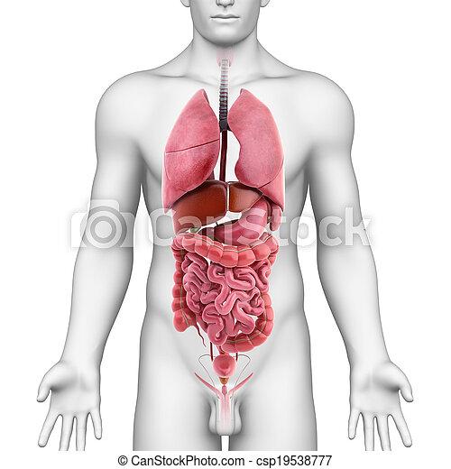 corps, anatomie, tout, organes, humain - csp19538777