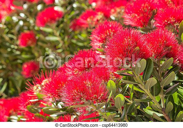 cramoisi, arbre, fleurs, fleur, pohutukawa - csp64413980