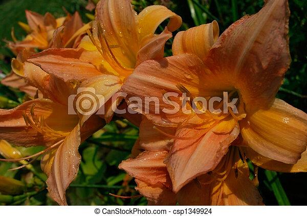 daylily - csp1349924