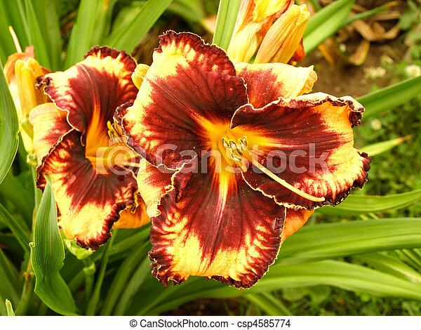 daylily - csp4585774