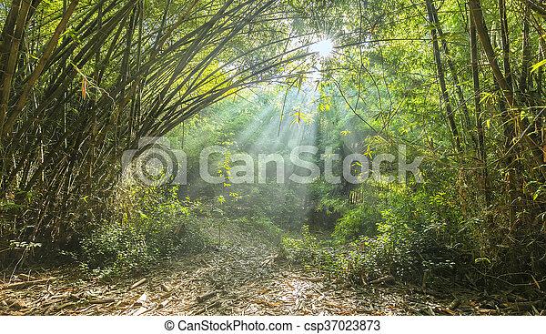 ensoleillé, tôt, forêt bambou - csp37023873