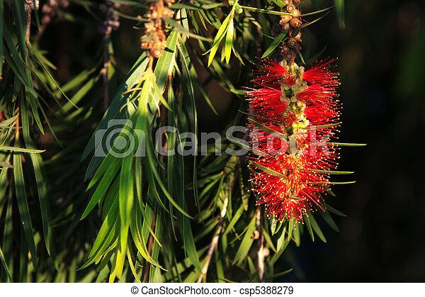 fleur, feuilles, bottlebrush - csp5388279