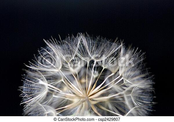fleur, pissenlit - csp2429807