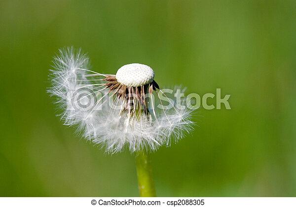 fleur, pissenlit - csp2088305