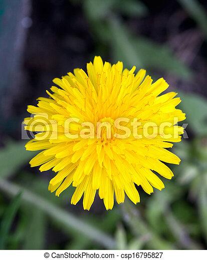 fleur, pissenlit - csp16795827