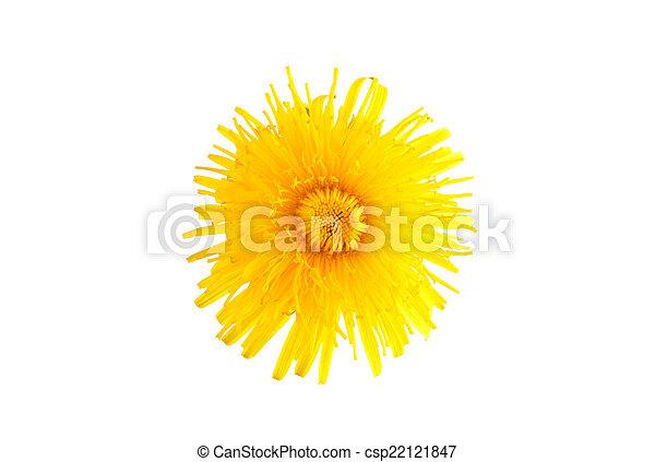 fleur, pissenlit - csp22121847