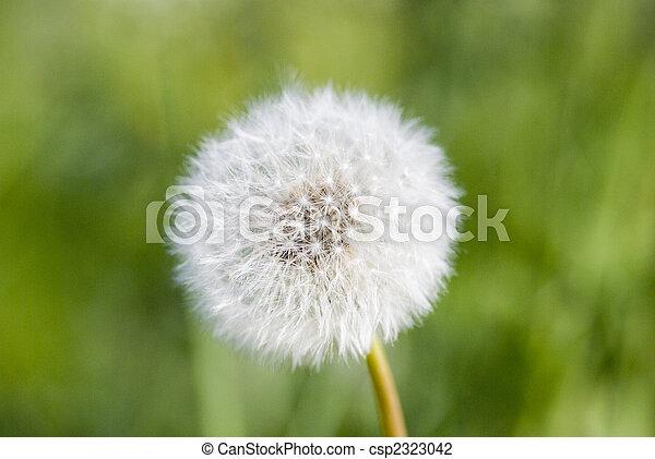 fleur, pissenlit - csp2323042
