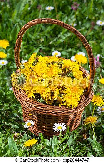 fleur, pissenlit - csp26444747