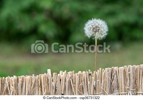 fleur, pissenlit - csp36731322