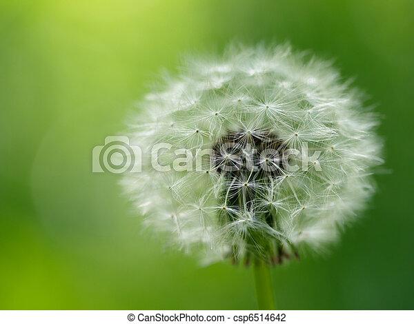 fleur, pissenlit - csp6514642
