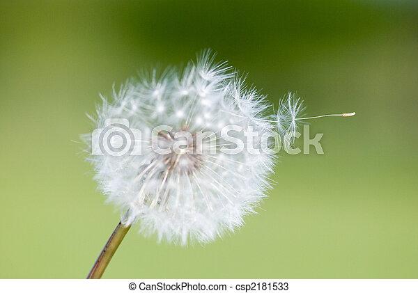 fleur, pissenlit - csp2181533