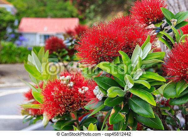 fleurs, pohutukawa, rouges - csp45812442