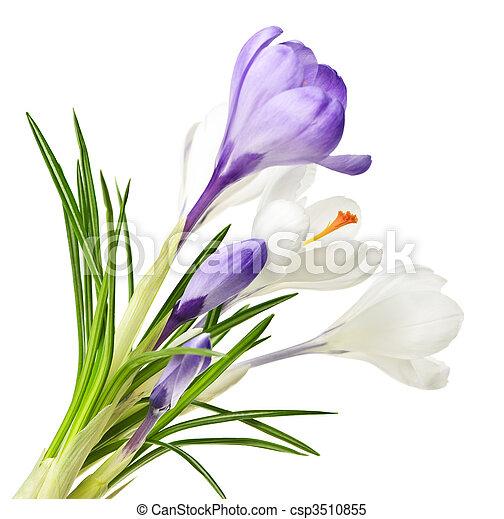fleurs ressort, colchique - csp3510855