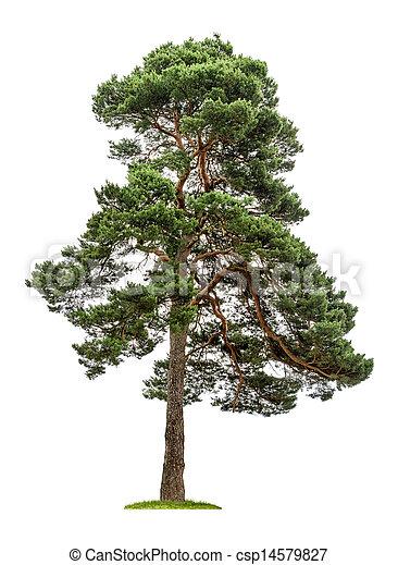 fond, blanc, arbre, isolé, pin - csp14579827
