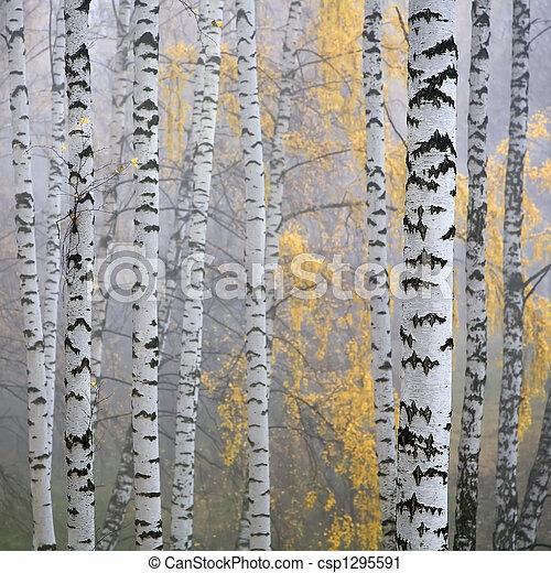 forêt, bouleau - csp1295591
