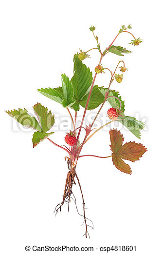 fraise sauvage, plante - csp4818601