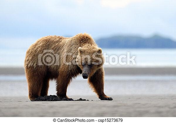 grisonnant, fourrager, plage, ours - csp15273679