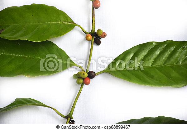 haricots, café, vert, branche - csp68899467