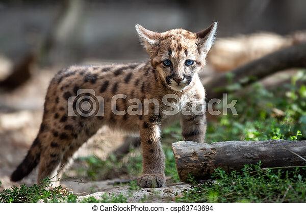lion, montagne, bébé, ou, puma, puma - csp63743694