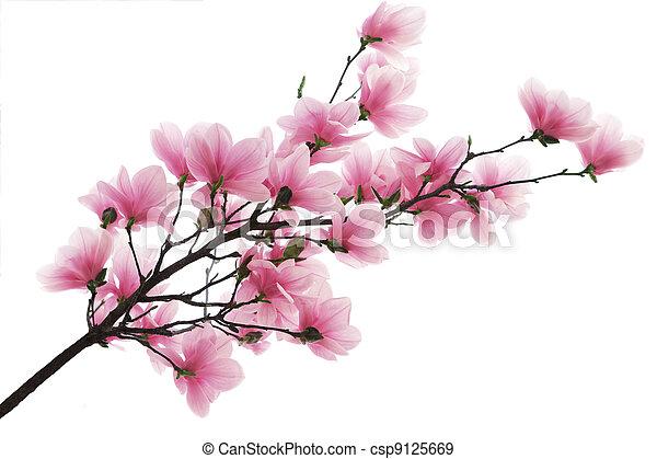magnolia, branche - csp9125669
