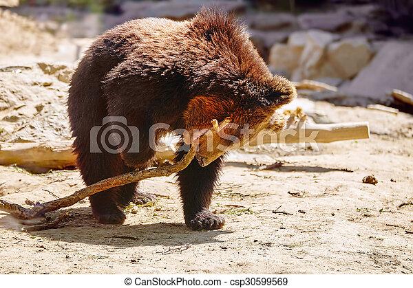 mignon, bear., brun - csp30599569