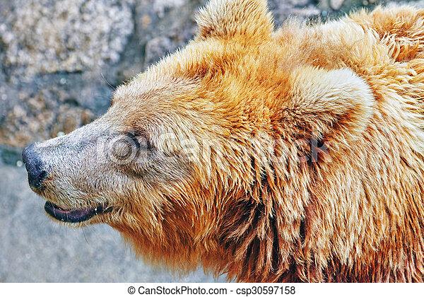mignon, bear., brun - csp30597158