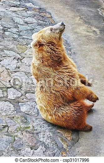 mignon, bear., brun - csp31017996