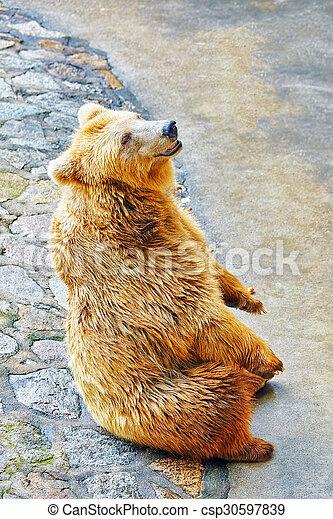 mignon, bear., brun - csp30597839