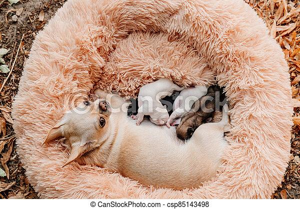milk., dogs., chiots, nouveau né, purebred, poitrine, manger, vue, top., chihuahua, élevage - csp85143498