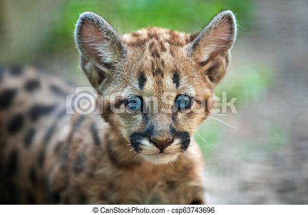 montagne, puma, puma, lion, bébé, ou - csp63743696